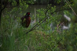 The Common Pheasant by Anderol