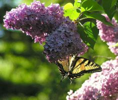 Butterfly on the Lilac by JocelyneR