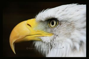 Bald Eagle  (Side View) by ManiacalMew