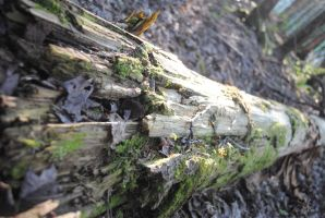 lasting log by Shearkin