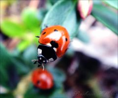 Ladybird by Foxehhh