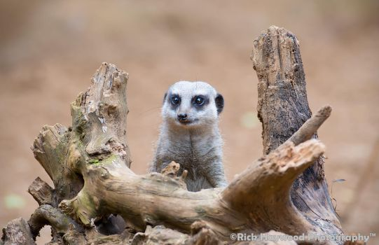 Meerkat 169 13a by Haywood-Photography