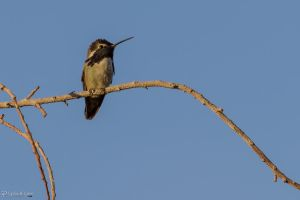 Costa's hummingbird 3 by CyclicalCore