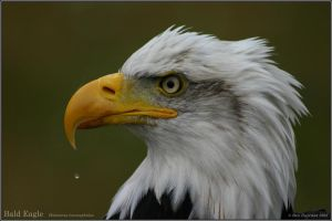 Bald Eagle by CoupeKid