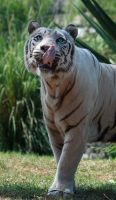 White tiger 8 by AngiWallace