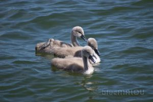 Baby Swans by blueMALOU