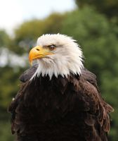 The Bald Eagle - Profile by Chocomix