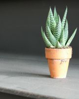 Potted Baby Aloe Plant by FantasyStock