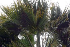 Windy Day Palm Leave by VarukaBlue