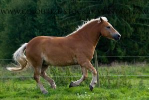 Haflinger Stock 3 by Colourize-Stock
