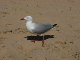 Seagull Stock 1 by athlinia-stock