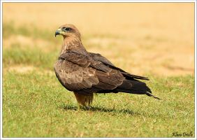Black kite by KlaraDrielle