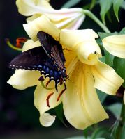 Blue Butterfly on Yellow Lily by PanisEtCircense