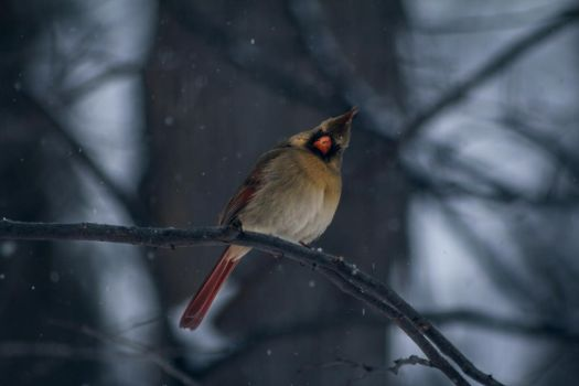 Another Female Cardinal by ViridianRoses
