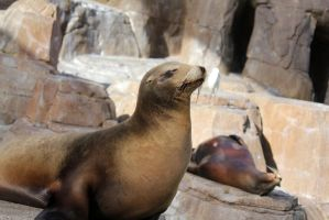 Sea Lions 4 by firenze-design