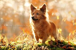 ''fox'' in the forest by Partridge-PetPics