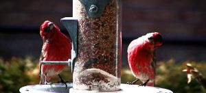 Red birds on Feeder by ralasterphecy