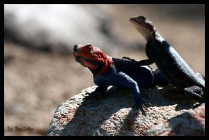 Red Headed Rock Agamas by shutterbugmom