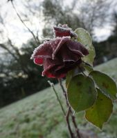 Frozen Rose II by LouisTN
