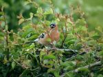 screaming chaffinch by harrietbaxter