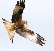 Red Kite by Mararda