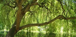 Weeping Willow 2 by Mk-Photo