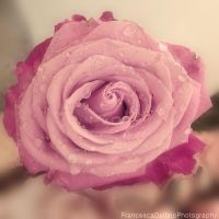Pink rose 1 by FrancescaDelfino