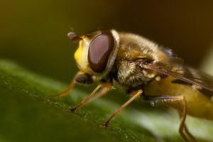 Hoverfly by duris