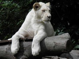 White lion 3 by JanuaryGuest