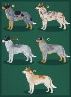 ACD Imports for Mehen by Sedillo-Kennels