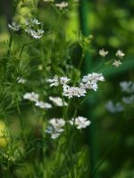 Dill 04 by botanystock