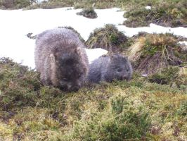 Wombats by I-Artemis-I