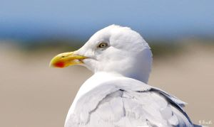 Herring Gull - 4 by jsmith-jc1