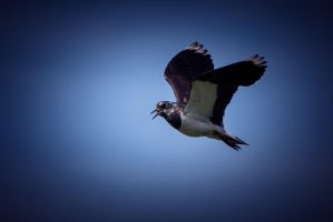 Lapwing by RLPhotographs