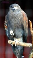 Harris Hawk 1 by panda69680102