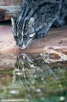 Fishing Cat II by amrodel