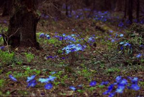 forest glade with Hepatica by LordBurevestnik