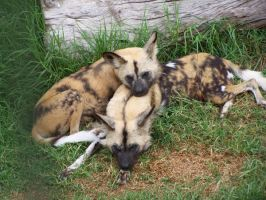 AfricanWildDogs1-Stock by SilkenWebs