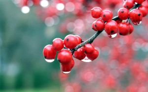 Berries in the rain by KwM-McIvor