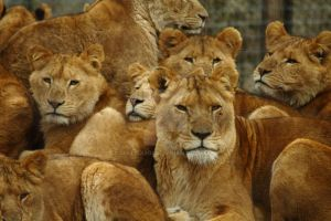 .:Pride of lions:. by matrix9000