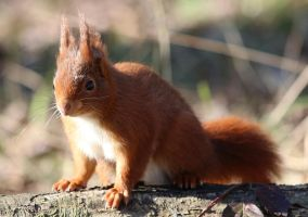 Wild animal 329 - sweet red squirrel by Momotte2stocks
