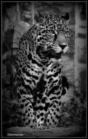 Handsome Jaguar Jutai by SilkenWinds