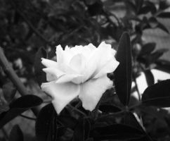 White rose by Kaylalaperson