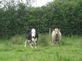 The Staring Cows by MaeveHumphreys