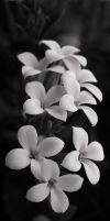 black and white flower by greycamera
