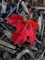 Red Leaf by Eternallove666