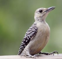 Young Red Bellied Woodpecker by SalemCat