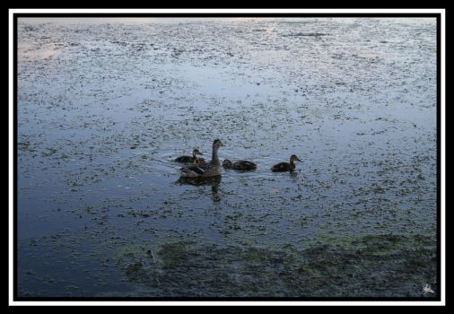 Family of Ducks by restlesscourage