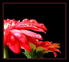 Red Gerbera.... by Pjharps