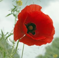 Poppy by starykocur